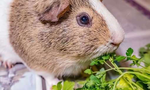 guinea-pig-eating-mixed-greens