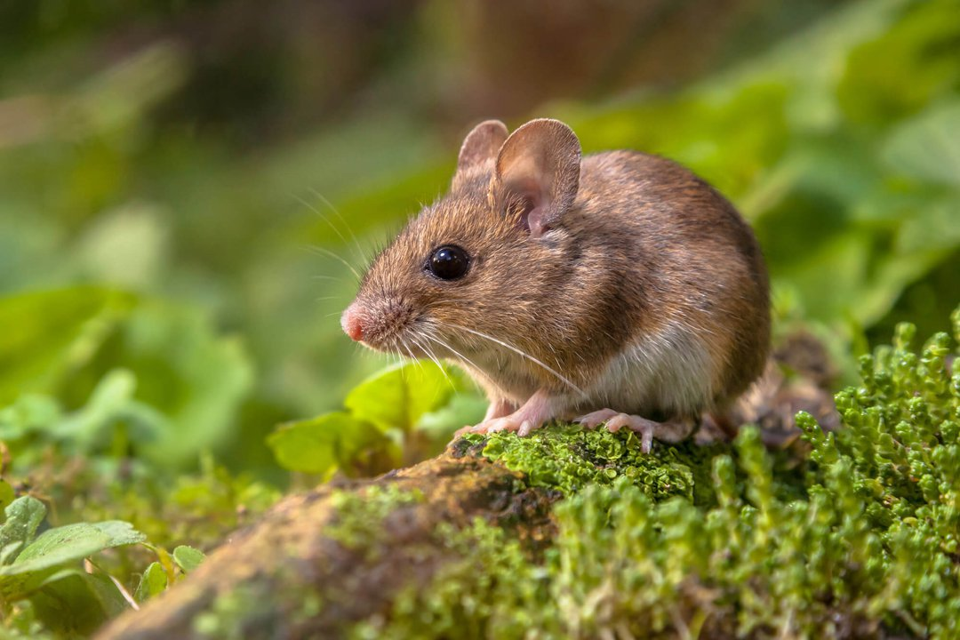 Field Mouse Close Up