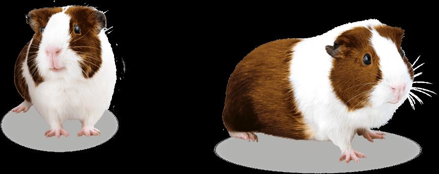 guinea-pig-group