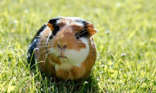 guinea-Pig-looking