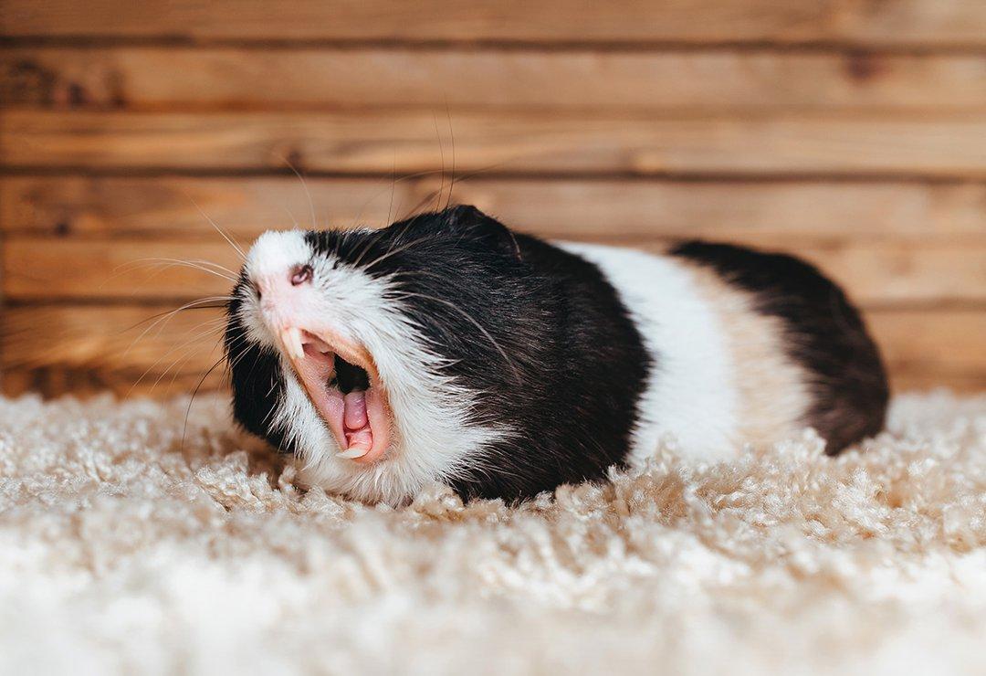 guinea pig teeth